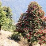Rhododenron_ads1